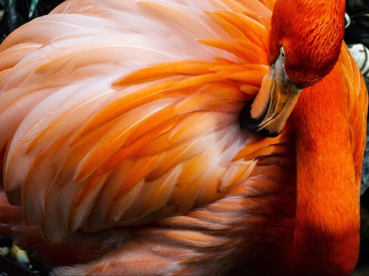 A Flamingo Preens Its Long Orange Feathers