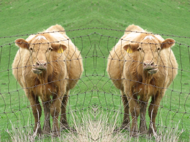 Mirrored Image of a Cow Chewing behind a Wire Fence