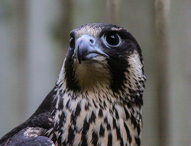 1450 Peregrine falcon sm