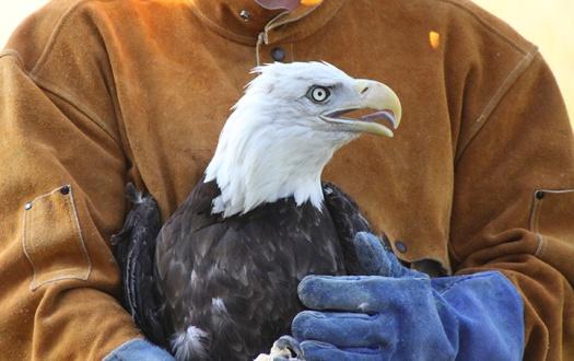 Bald Eagle sm