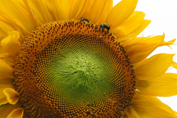 Sunflower & bees